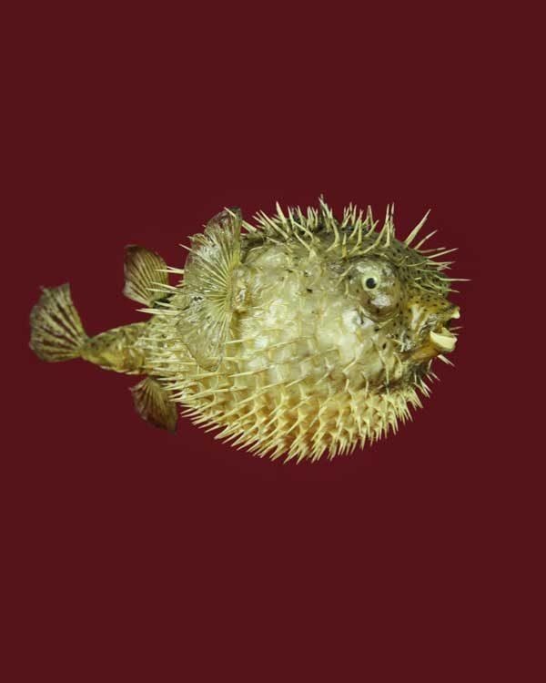 Dried puffer fish