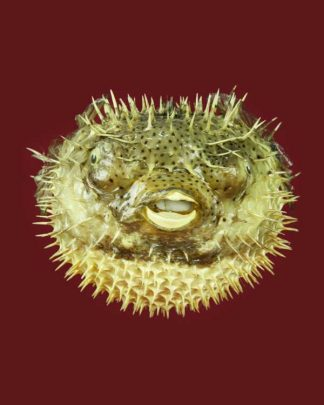 Dried puffer fish